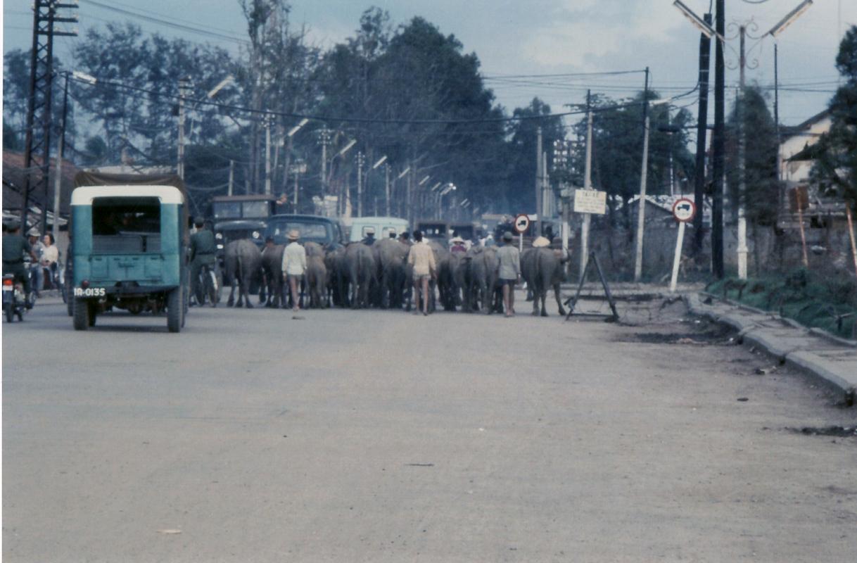 Những chú trâu đi lại trên đại lộ đường phố Cần Thơ