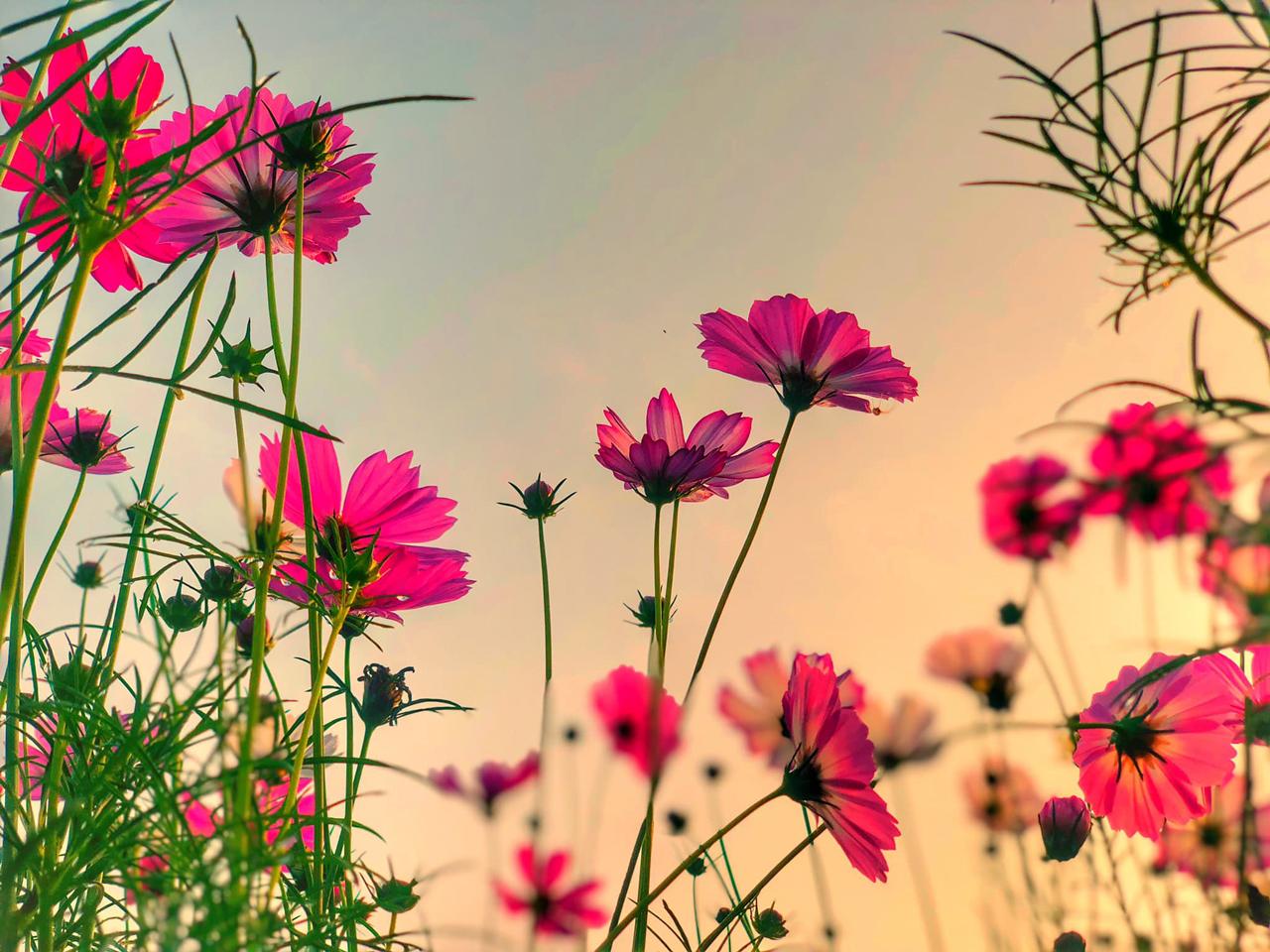 Cận cảnh những đóa hoa tam giác mạch ở vườn hoa Cần Thơ