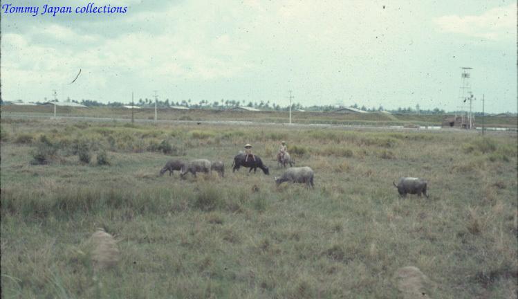 Chăn trâu ngoài đồng ở Châu Đốc năm 1965