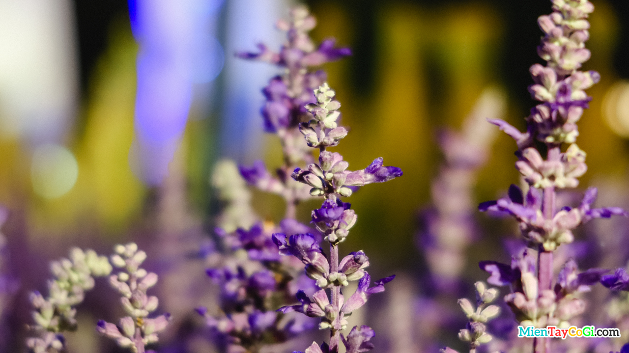 Hoa lavender ở đường hoa Cần Thơ năm nay