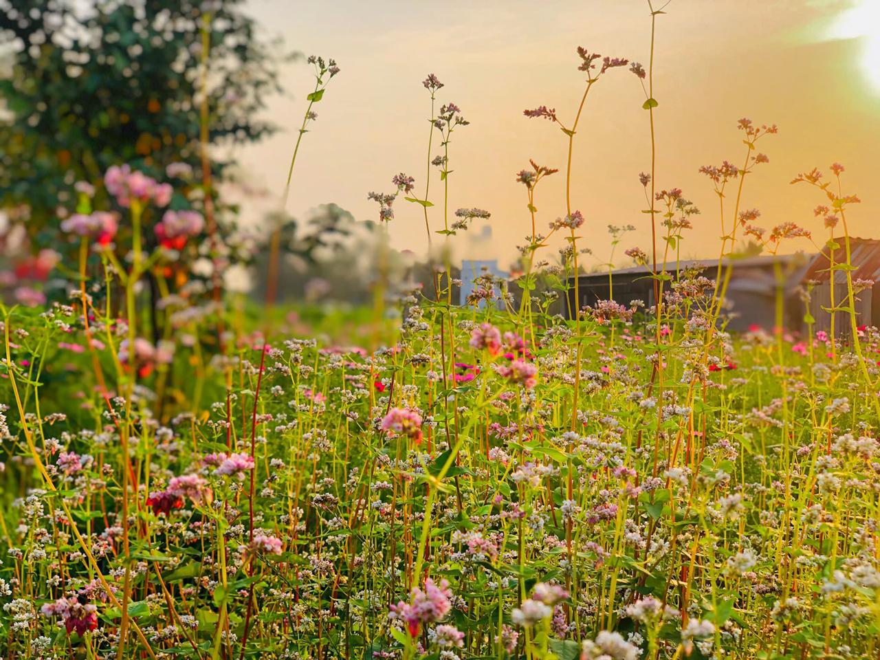 Hoa Tam Giác Mạch tại vườn Tam Giác Mạch Farm Cần Thơ