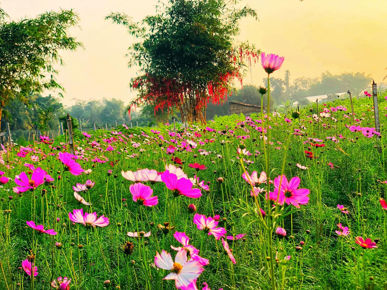 Hoa dừa cạn mạch khoe sắc ở vườn hoa tam giác mạch farm Cần Thơ