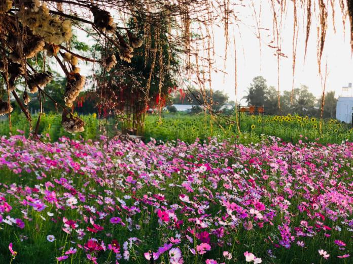 Vườn hoa Tam Giác Mạch Cần Thơ 2021