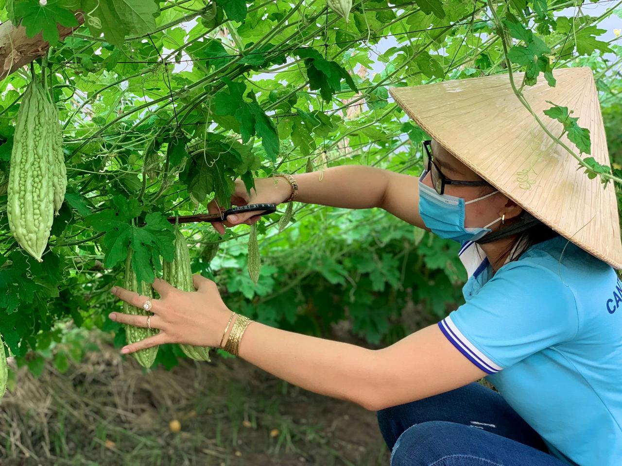 Nhân viên thu hoạch trong Mô hình cho thuê đất trồng rau Cần Thơ