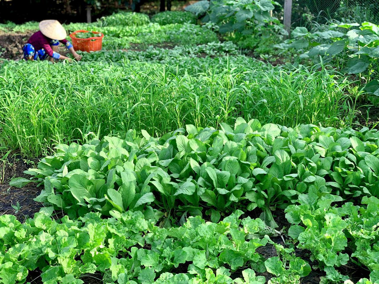 Những mẫu rau của Mô hình cho thuê đất trồng rau Cần Thơ Eco Farm